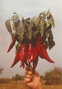 paprika-napfeny